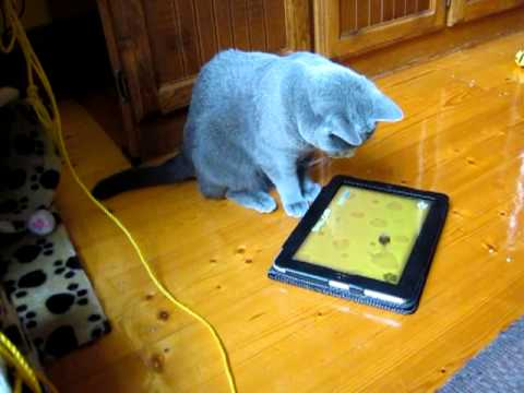 Russian Blue Cat plays Ipad Game for Cats
