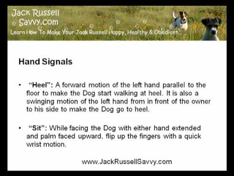 Training A Jack Russell Using Six Common Hand Signals
