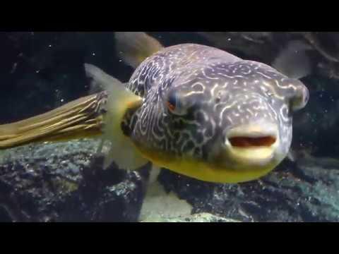 Poisson-Globe Vu de Près - Blowfish Fugu, Aquarium Paris Porte Dorée