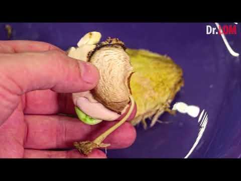 Как посадить косточку манго видео