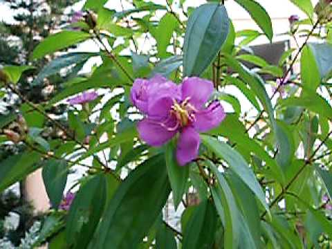 Mu tan flower