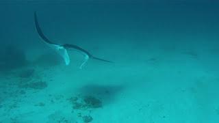 Majestic Manta Rays feeding and back flipping on Lady Elliot Island Thumbnail
