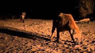 Hieny w Etiopii