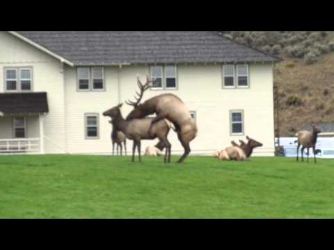 Elk Mating In Yellowstone