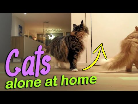 Siberian cats left alone at home - how do they react? Cat alone reaction