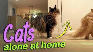 Cats left alone at home  how do they react? Siberian cats alone reaction