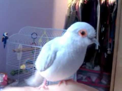 My Diamond Dove In Action Youtube