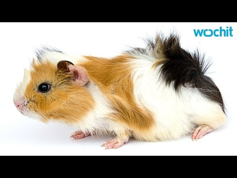 Why is it Illegal to Own 1 Guinea Pig in Switzerland?