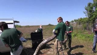Record-Breaking Burmese Python (17 feet, 7 inches, 87 eggs)