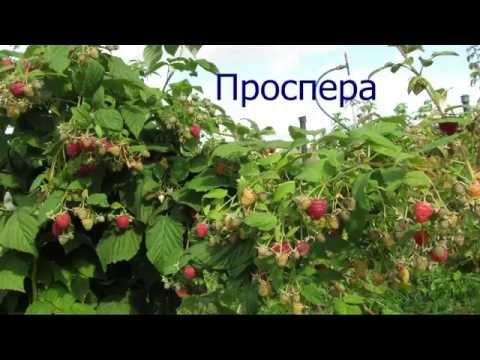 Сорт ремонтантной малины Проспера  - супер урожай !