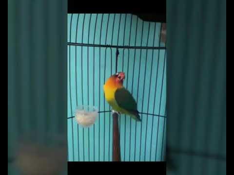 Suara Lovebird nada minor.