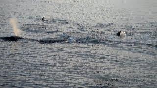 Касатки нападают на кита в Охотском море, мыс Врангеля