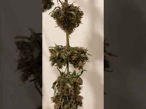 Close up of dried marijuana plant after 12 days