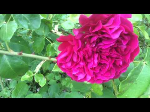 Rose 'William Shakespeare 2000' de 'David Austin' Belle rose rime et prose