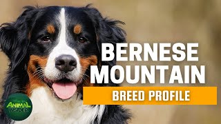 Bernese Mountain Dogs 101 - A Strikingly Good-Looking and Powerful Swiss Mountain Dog