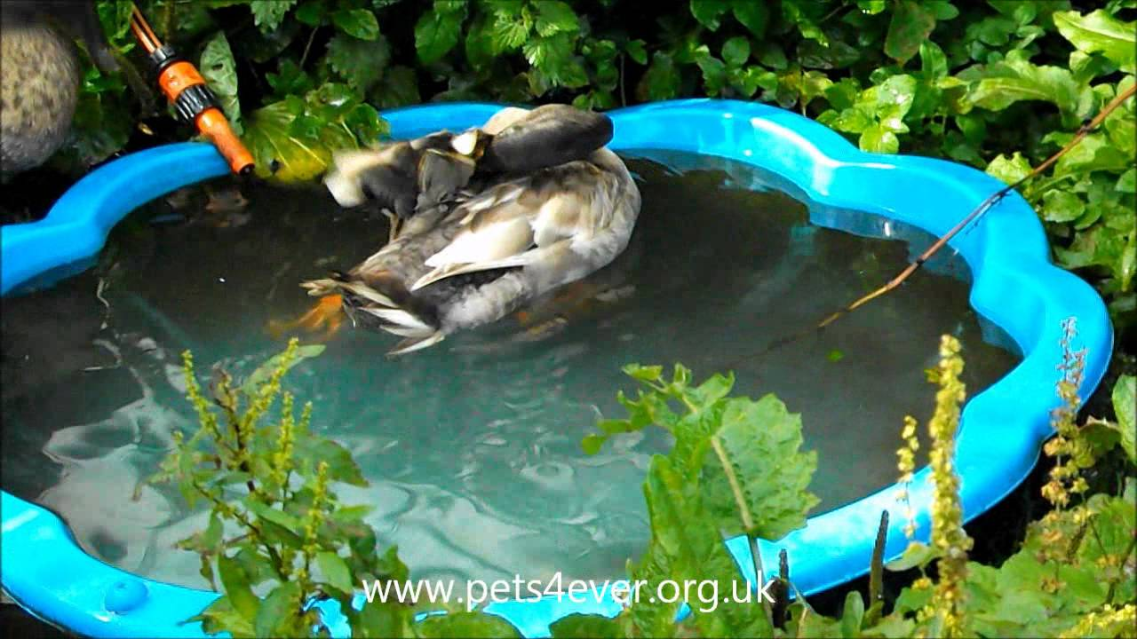 Quackers ducks in paddling pool pond 15 year ronald for Koi pond next to pool