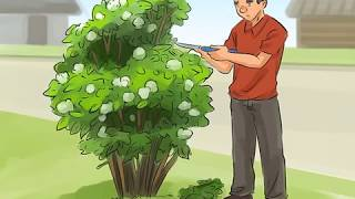 Creative Common | How to Prune a Snowball Bush? | 🄲🄲