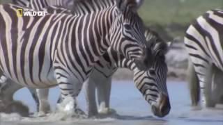 Мир животных | Пустыни и саванны | Дикая Калахари | Материнское чувство | Миграция | Африка