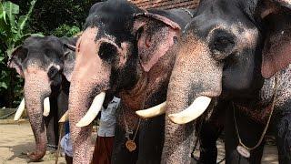 Elephants Of Guruvayoor Punnathur Kotta elephant sanctuary (punnathoor Fort)