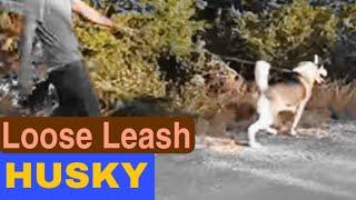 Walking Husky On A Loose Leash