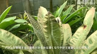 【Plumeri TV - VOL.32】プルメリアの花の咲かせ方講座・第3話 〜夏に行うべき栽培管理のチェックポイント〜 thumbnail