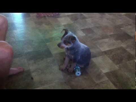 Clever 10 week old blue heeler puppy practices tricks