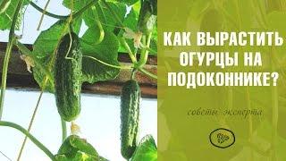 видео Выращивание огурцов в комнатных условиях, огород на подоконнике