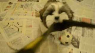 9 Week Old Shih Tzu Puppies Playing With Camera Neck Strap