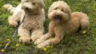 Labradoodles At Doggie Boot Camp With Balanced Obedience Dog Training Of Hawaii