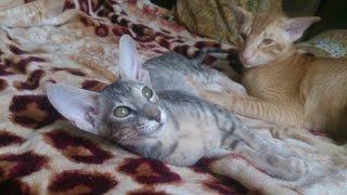 Поведение Ориентальной Кошки, Породы Кошек