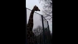 Приколы с животными 2014  - жираф писает