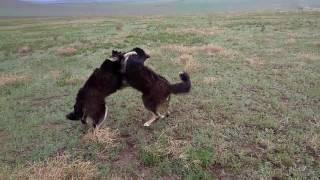 """Битва собак - """"хотошо"""" из-за тарбагана!"""
