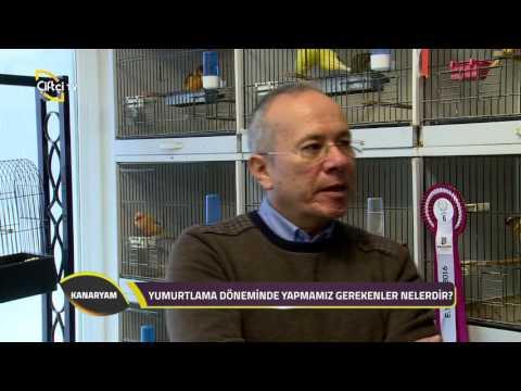 Kanaryam-Yorkshire Kanaryası Hakkında Bilgiler