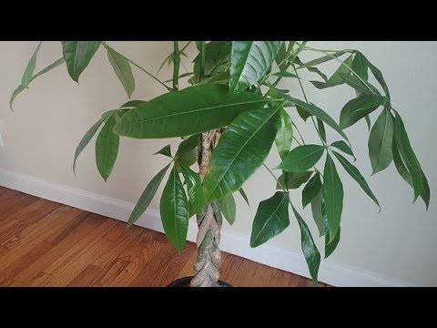 Propagating Money Tree In Water Part 1 Youtube