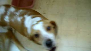 Beagle Howling....think You Want A Beagle...watch This First!