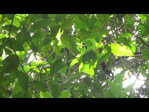 Gibbon in Sabangau forest Borneo - snake mobbing