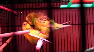 PARAKEETS MATING:  SPARKY AND GOLDY MATING