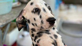 Gia đình nhà chó đốm ở quê - Đăng bán chó đốm con đực thuần chủng 2 tháng tuổi, không tật lỗi