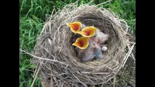 Bird Nest On A Fence Post With Newborn Baby Birds