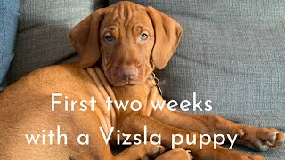 Our first two weeks with our Vizsla puppy