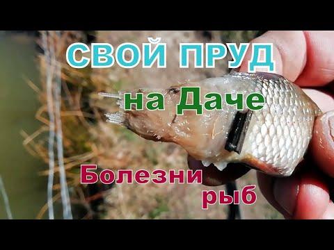 Пруд на даче. Болезни прудовых рыб. Сапролегниоз рыб. Выращивание рыбы. Свой пруд. Пруд на участке.
