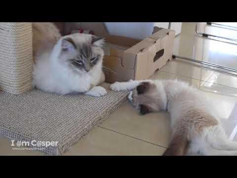 Little ragdoll kitten Binx teasing Casper to play