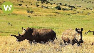 Das Nashorn  Die Jagd nach dem wertvollen Horn (Tierdokumentation in HD)