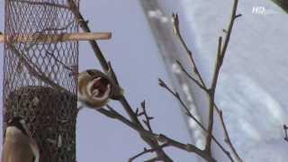 Птицы зимой  .(Щеглы, вьюрки, зеленушки, синицы на кормушке возле дома . Зима 2013 ., 2013-11-17T11:36:57.000Z)