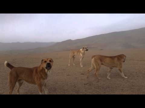 Tajik shepherd dogs attack a car