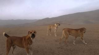 Tajik shepherd dogs attack a car