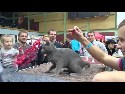 Eithne Sezerp*PL korat kitten cat show