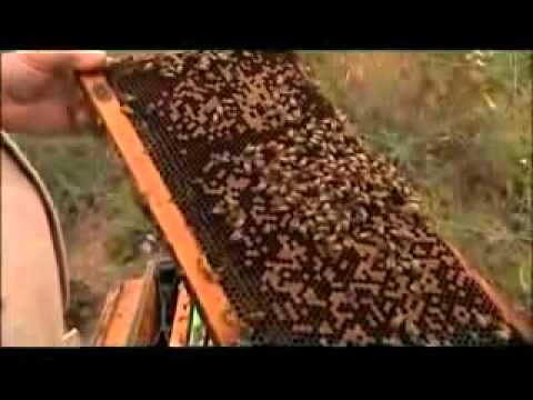 Si l'abeille disparaissait du globe, l'homme n'aurait plus que 4 ans à vivre