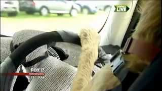 12/6/2012: Trainers Teach Dogs To Drive Cars...