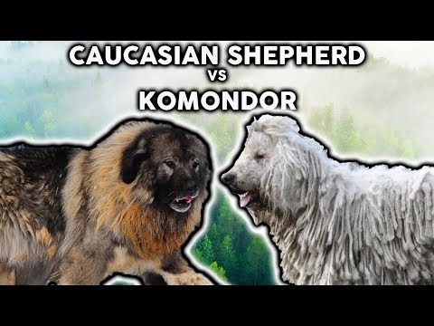CAUCASIAN SHEPHERD VS KOMONDOR! The Best Guard Dog Breed For First Time Owners!